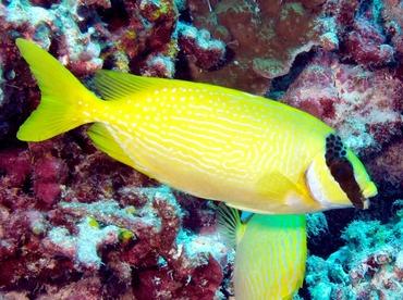 Masked Rabbitfish - Siganus puellus - Palau