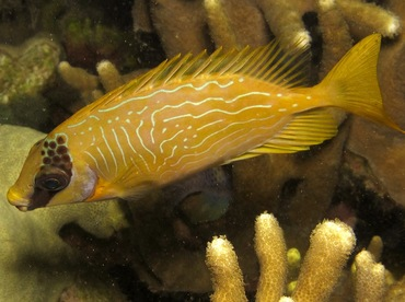 Masked Rabbitfish - Siganus puellus - Yap, Micronesia