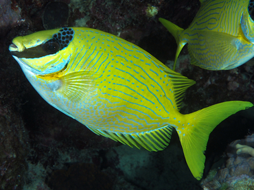 Masked Rabbitfish - Siganus puellus - Great Barrier Reef, Australia