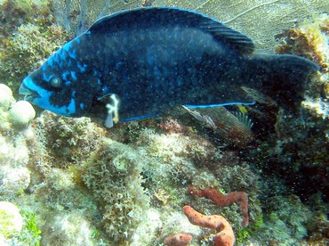 Midnight Parrotfish - Scarus coelestinus - Key Largo, Florida