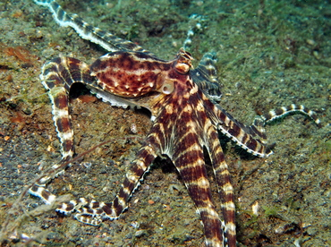 Mimic Octopus - Thaumoctopus mimicus - Lembeh Strait, Indonesia