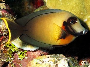 Mimic Surgeonfish - Acanthurus pyroferus - Palau