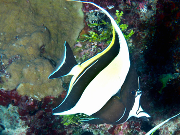 Moorish Idol - Zanclus cornutus - Great Barrier Reef, Australia