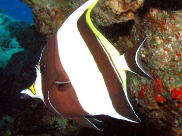 Moorish Idol - Zanclus cornutus - Lanai, Hawaii