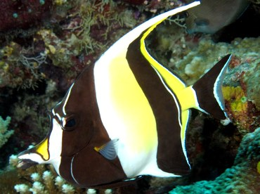 Moorish Idol - Zanclus cornutus - Big Island, Hawaii