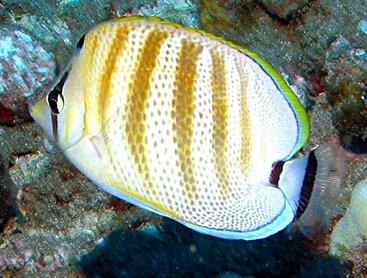 Multiband Butterflyfish - Chaetodon multicinctus - Maui, Hawaii