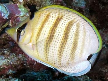 Multiband Butterflyfish - Chaetodon multicinctus - Lanai, Hawaii