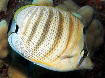 Multiband Butterflyfish - Chaetodon multicinctus - Big Island, Hawaii