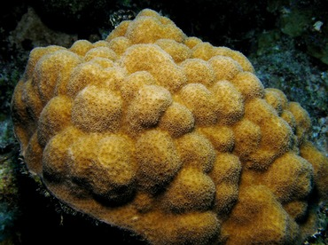 Mustard Hill Coral - Porites astreoides - Belize