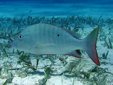 Mutton Snapper - Lutjanus analis - Turks and Caicos