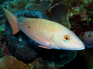 Mutton Snapper - Lutjanus analis - Grand Cayman