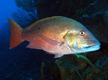 Mutton Snapper - Lutjanus analis - Cozumel, Mexico
