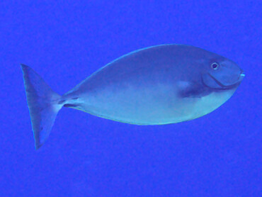 Sleek Unicornfish - Naso hexacanthus - Great Barrier Reef, Australia