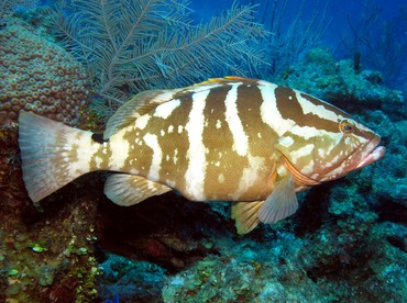 Nassau Grouper - Epinephelus striatus - Grand Cayman