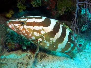 Nassau Grouper - Epinephelus striatus - Turks and Caicos