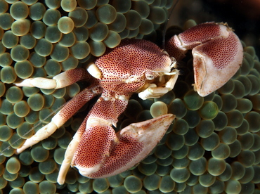 Spotted Porcelain Crab - Neopetrolisthes maculatus - Anilao, Philippines