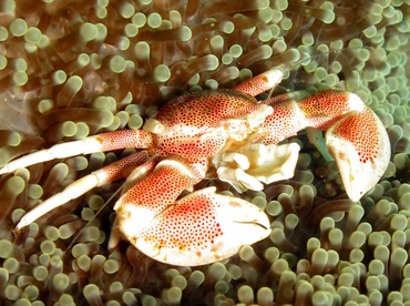 Spotted Porcelain Crab - Neopetrolisthes maculatus - Dumaguete, Philippines