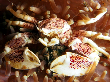 Spotted Porcelain Crab - Neopetrolisthes maculatus - Lembeh Strait, Indonesia