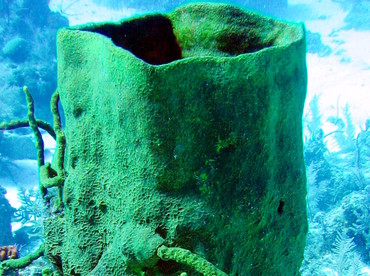 Netted Barrel Sponge - Verongula gigantea - Turks and Caicos