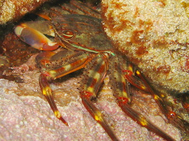 Nimble Spray Crab - Percnon gibbesi - St Kitts