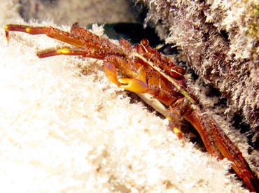 Nimble Spray Crab - Percnon gibbesi - Belize