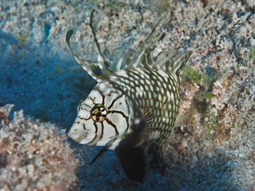 Rockmover Wrasse - Novaculichthys taeniourus - Great Barrier Reef, Australia