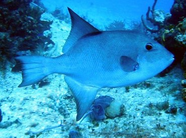 Ocean Triggerfish - Canthidermis sufflamen - Cozumel, Mexico