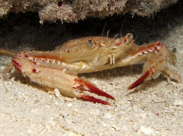 Ocellate Swimming Crab - Achelous sebae - Belize