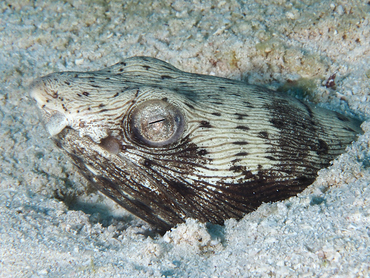 Spotted Snake Eel - Ophichthus ophis - Cozumel, Mexico