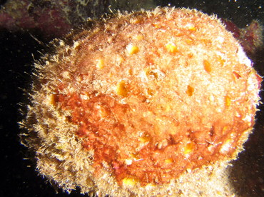 Orange Ball Sponge - Cinachyrella alloclada - Roatan, Honduras