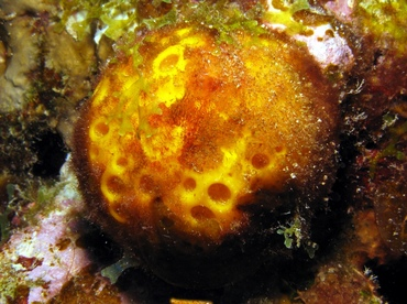 Orange Ball Sponge - Cinachyrella alloclada - St Thomas, USVI