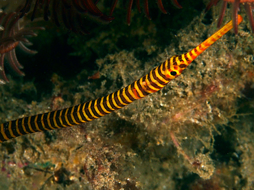 Orange-Banded Pipefish - Doryrhamphus pessuliferus - Anilao, Philippines