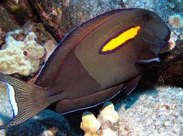 Orangeband Surgeonfish - Acanthurus olivaceus - Kona Coast, Hawaii