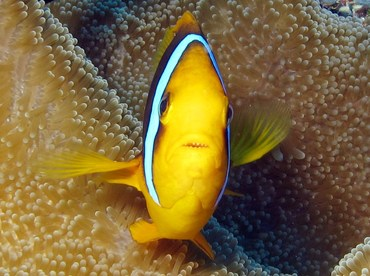 Orangefin Anemonefish - Amphiprion chrysopterus - Yap, Micronesia