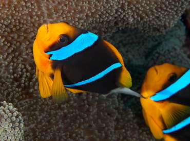 Orangefin Anemonefish - Amphiprion chrysopterus - Palau