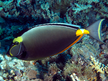 Orangespine Unicornfish - Naso lituratus - Great Barrier Reef, Australia