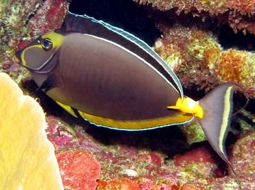 Orangespine Unicornfish - Naso lituratus - Yap, Micronesia