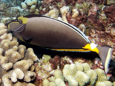 Orangespine Unicornfish - Naso lituratus - Lanai, Hawaii