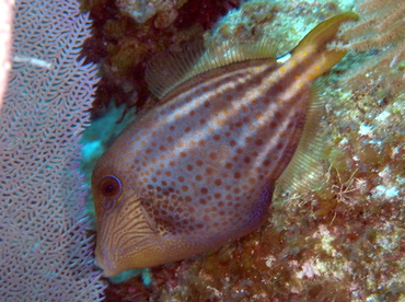 Orangespotted Filefish - Cantherhines pullus - Belize