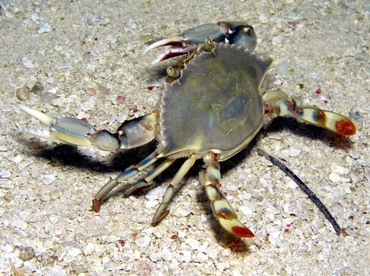 Ornate Blue Crab - Callinectes ornatus - Belize