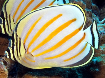 Ornate Butterflyfish - Chaetodon ornatissimus - Maui, Hawaii