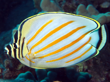 Ornate Butterflyfish - Chaetodon ornatissimus - Big Island, Hawaii