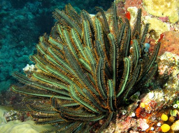 Bennett's Feather Star - Oxycomanthus bennetti - Palau
