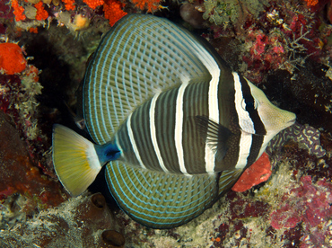 Pacific Sailfin Tang - Zebrasoma veliferum - Wakatobi, Indonesia