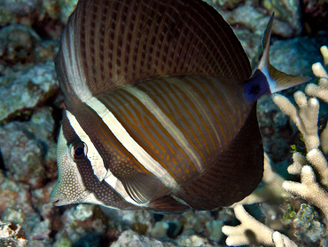 Pacific Sailfin Tang - Zebrasoma veliferum - Great Barrier Reef, Australia