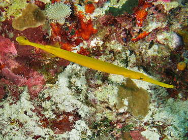 Pacific Trumpetfish - Aulostomus chinensis - Wakatobi, Indonesia