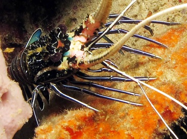 Painted Spiny Lobster - Palinurus versicolor - Dumaguete, Philippines