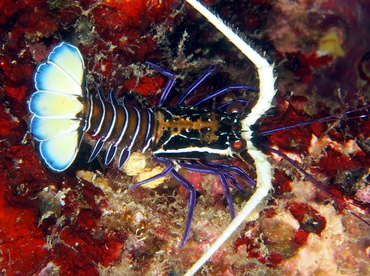 Painted Spiny Lobster - Palinurus versicolor - Fiji