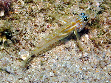 Pallid Goby - Coryphopterus eidolon - Grand Cayman