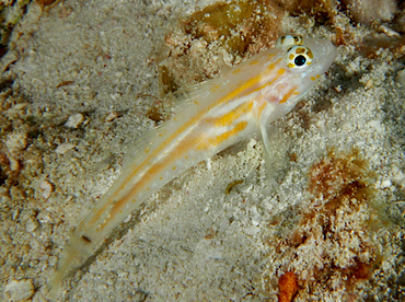 Pallid Goby - Coryphopterus eidolon - Cozumel, Mexico
